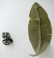 180px-Green_tea_leaf_boiled_and_dryed